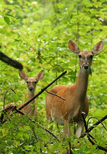 deer-baby-fawn-954791-o
