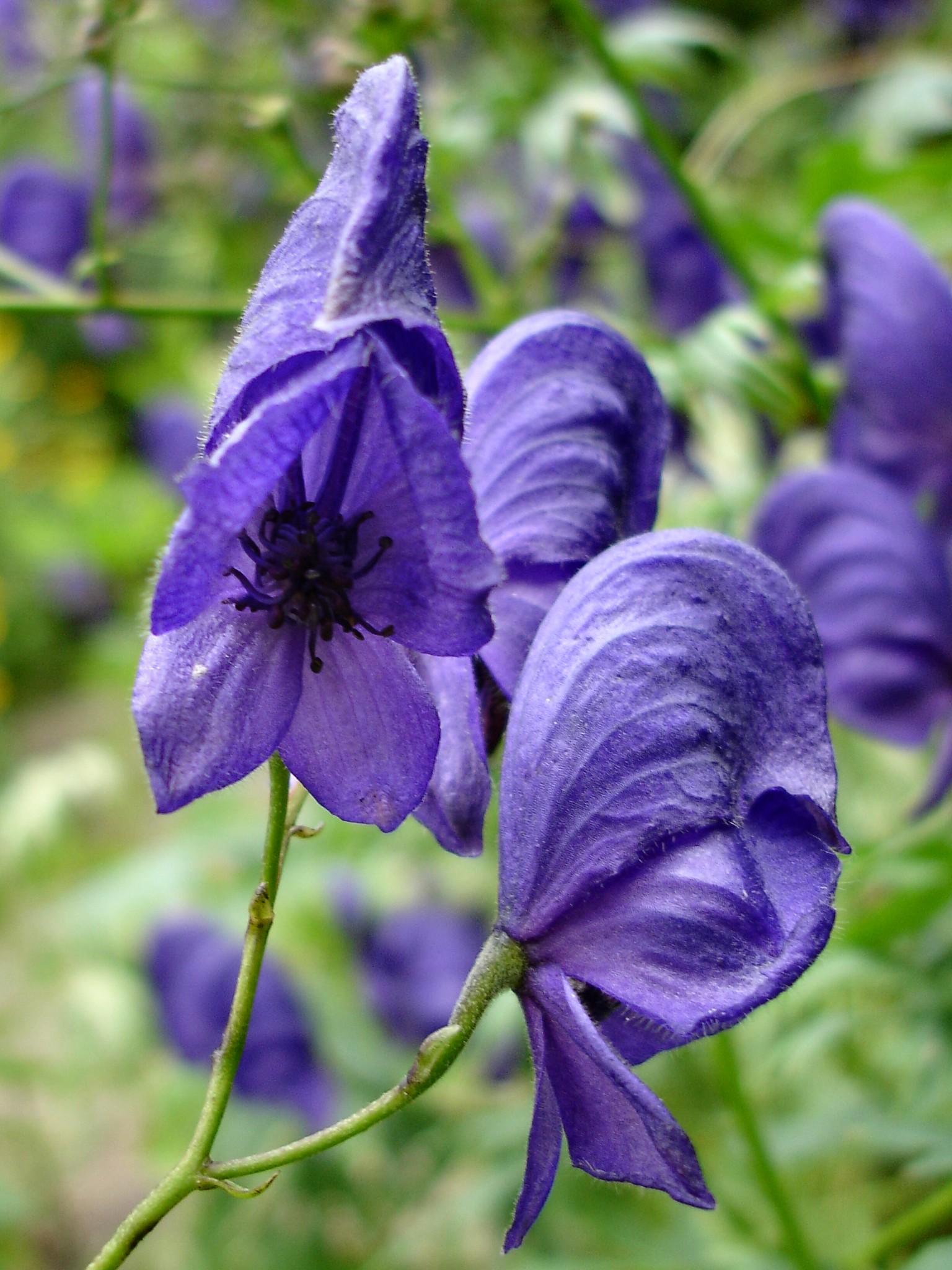 flowers-blue-aconitum-423361-o