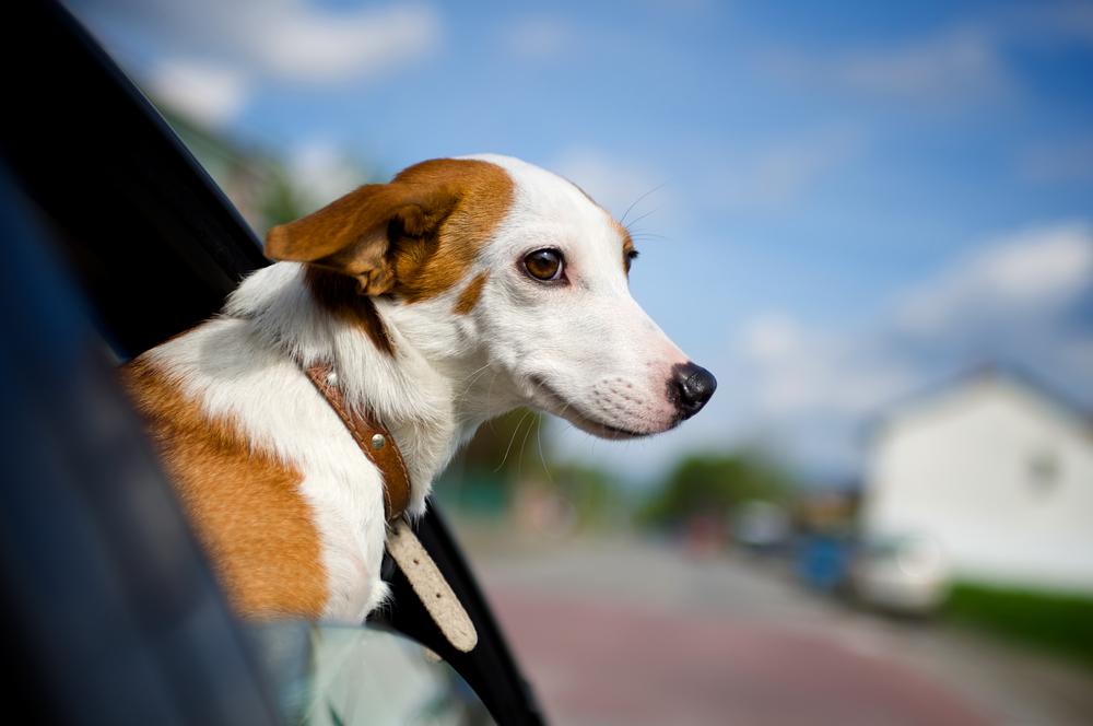 Haustiere als sichere Beifahrer